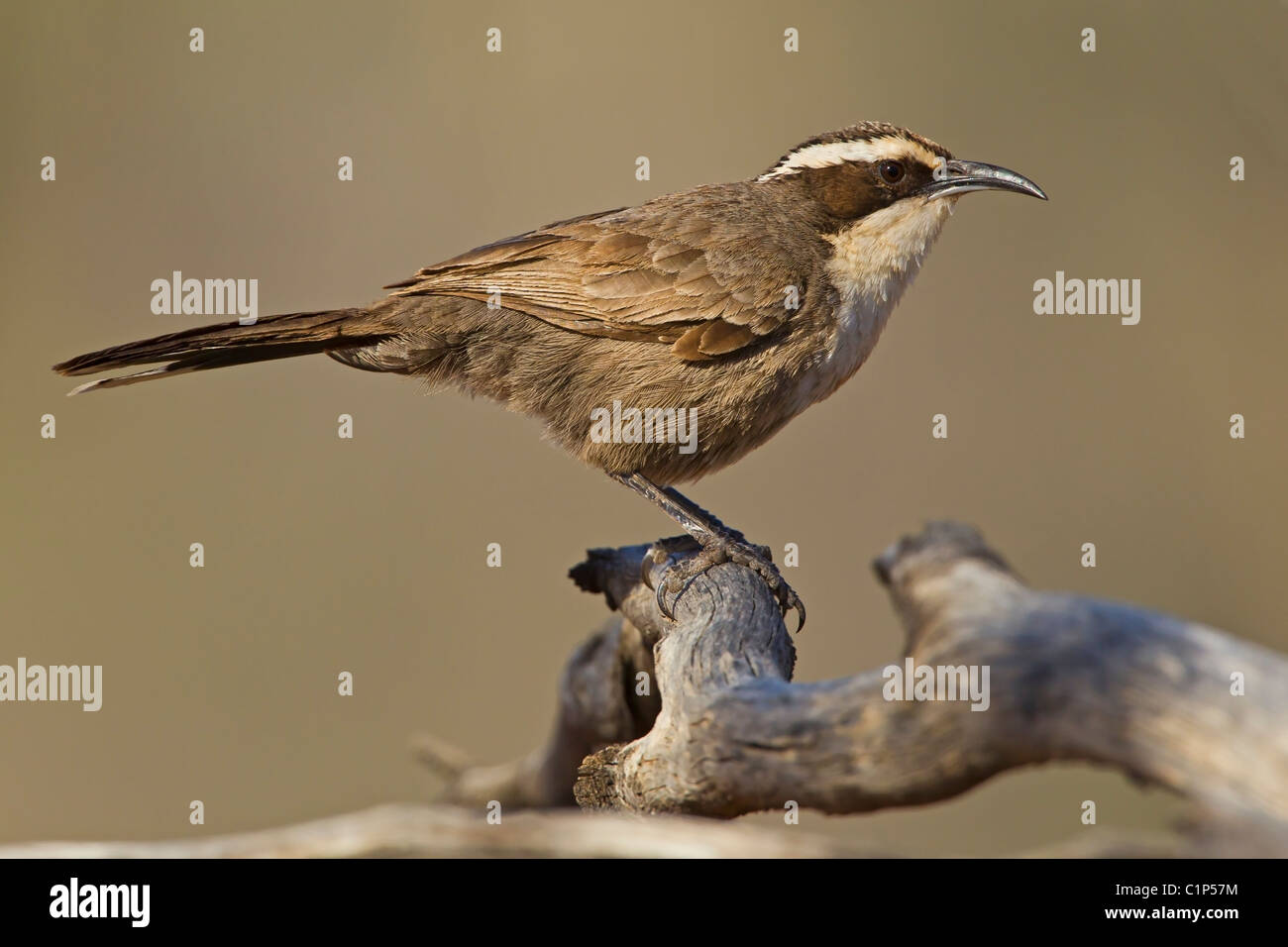 White-browed Babbler perched in an old dead tree. - Stock Image