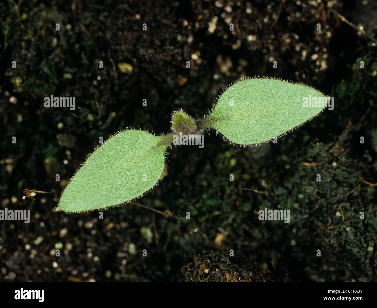Black nightshade (Solanum nigrum) seedling cotyledons only - Stock Image
