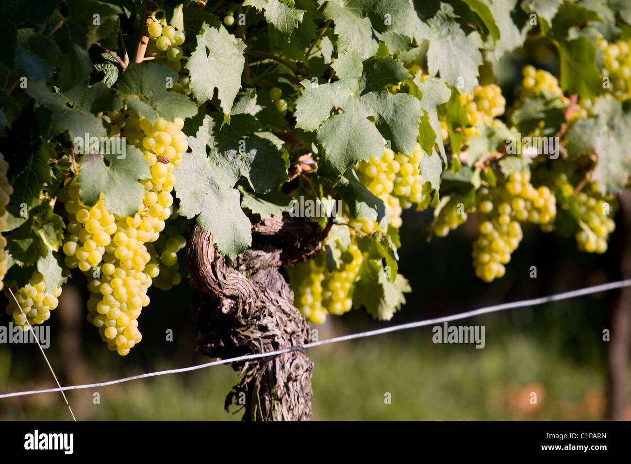 Germany, bunches of grapes on vine - Stock Image