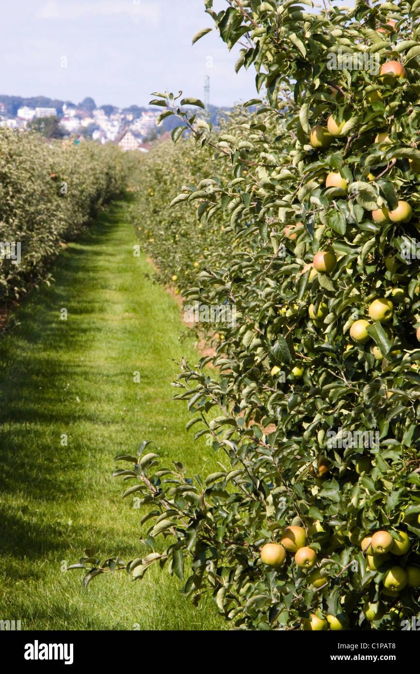 Germany, Jork, Altes Land, apple orchard - Stock Image