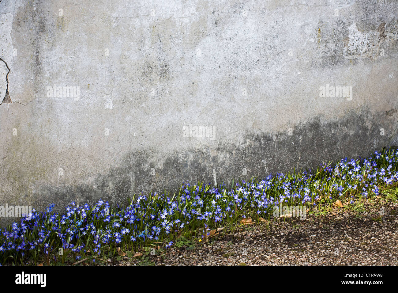 glory-of-the-snow flowering near wall - Stock Image