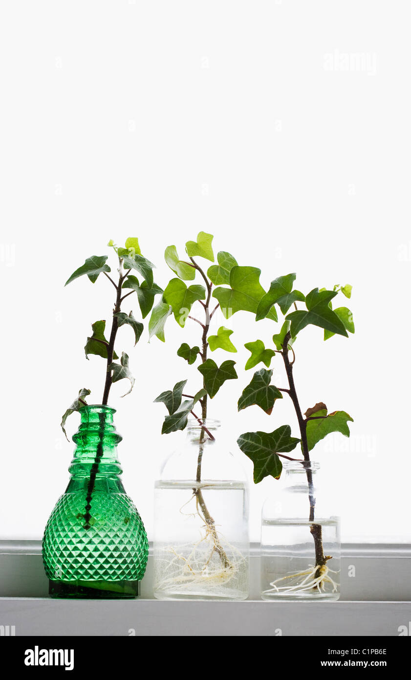 Ivy branches in jars - Stock Image