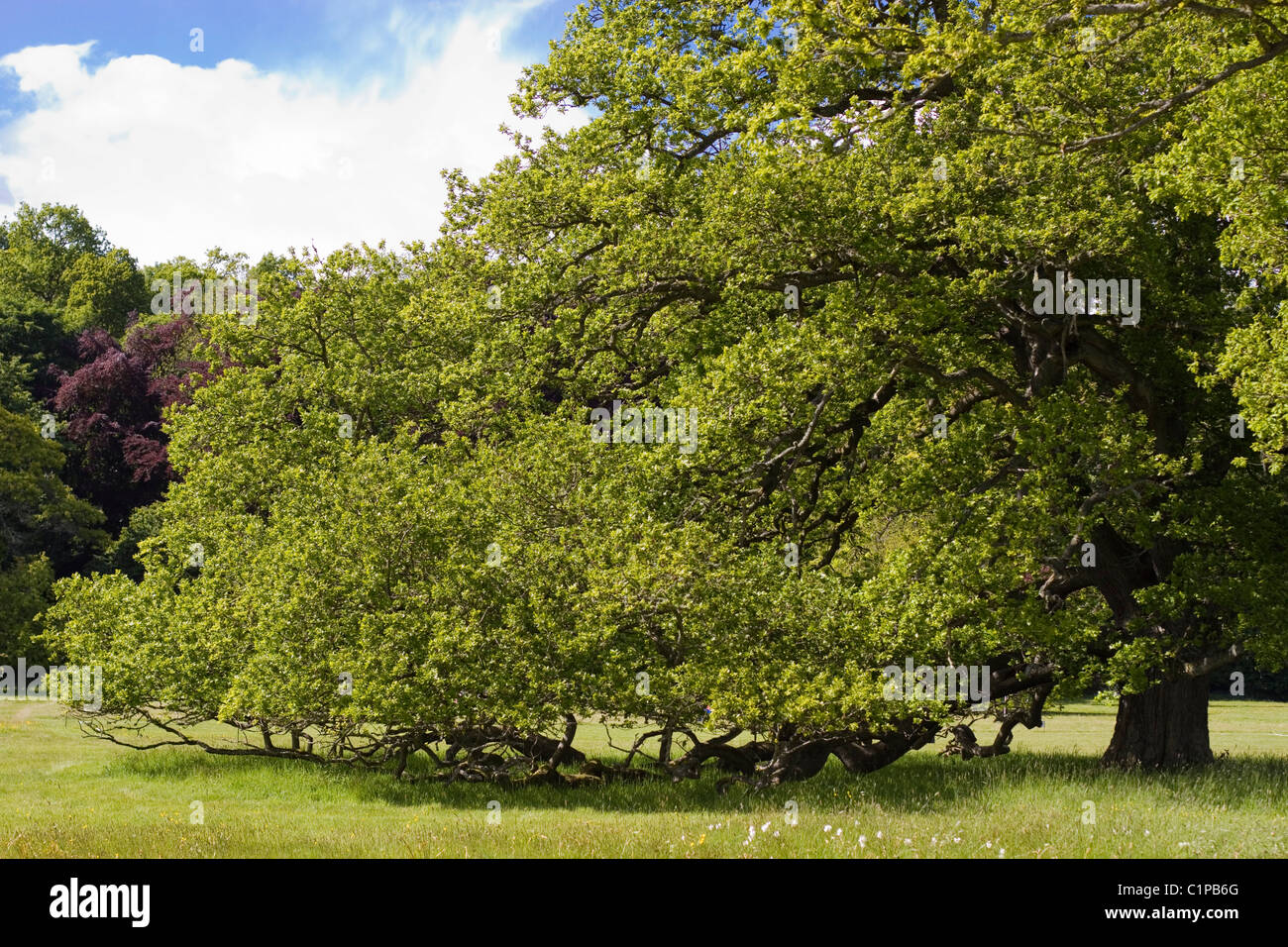 Scotland, Lothian and Borders, ancient oak tree in grounds of Floors Castle - Stock Image