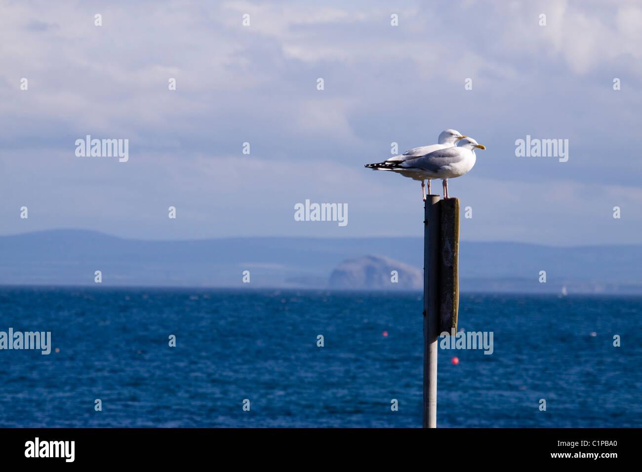 Scotland, Fife, Anstruther, Seagulls perching on signpost overlooking sea - Stock Image