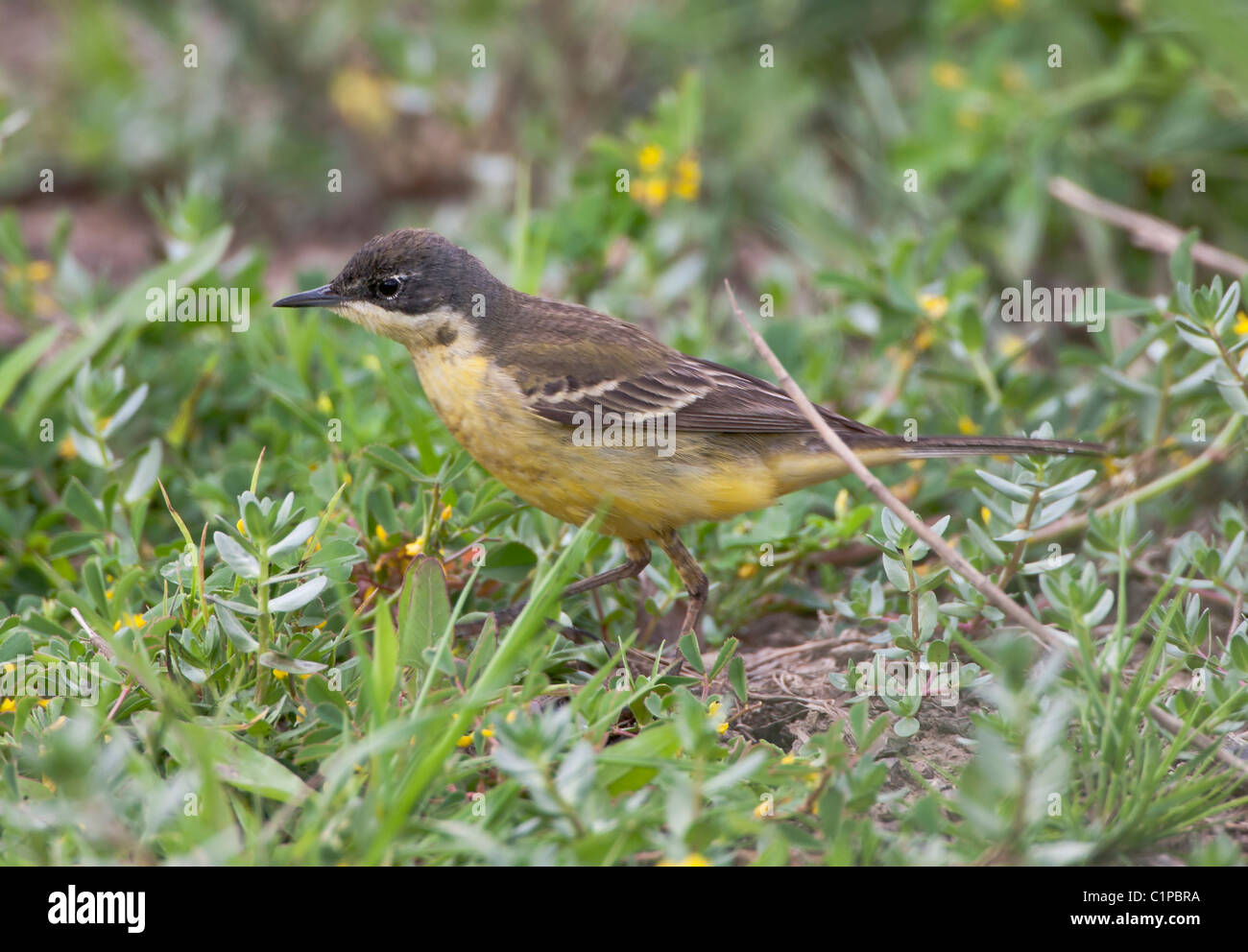 Black-headed Wagtail female  Motacilla flava feldegg Southern Turkey April - Stock Image