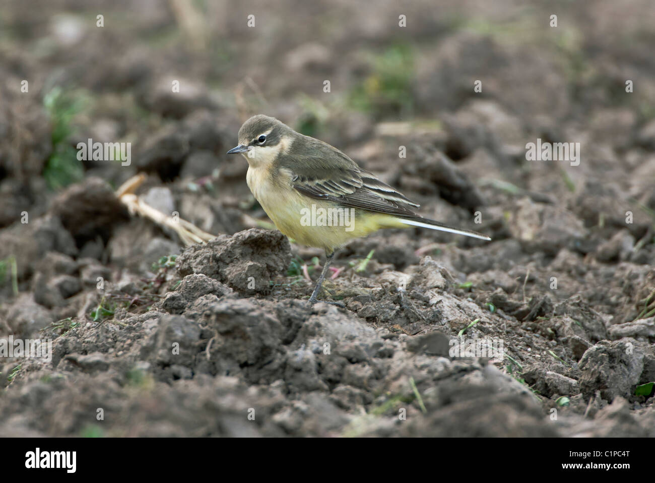 Black-headed Wagtail juvenile Motacilla flava feldegg Southern Turkey April - Stock Image
