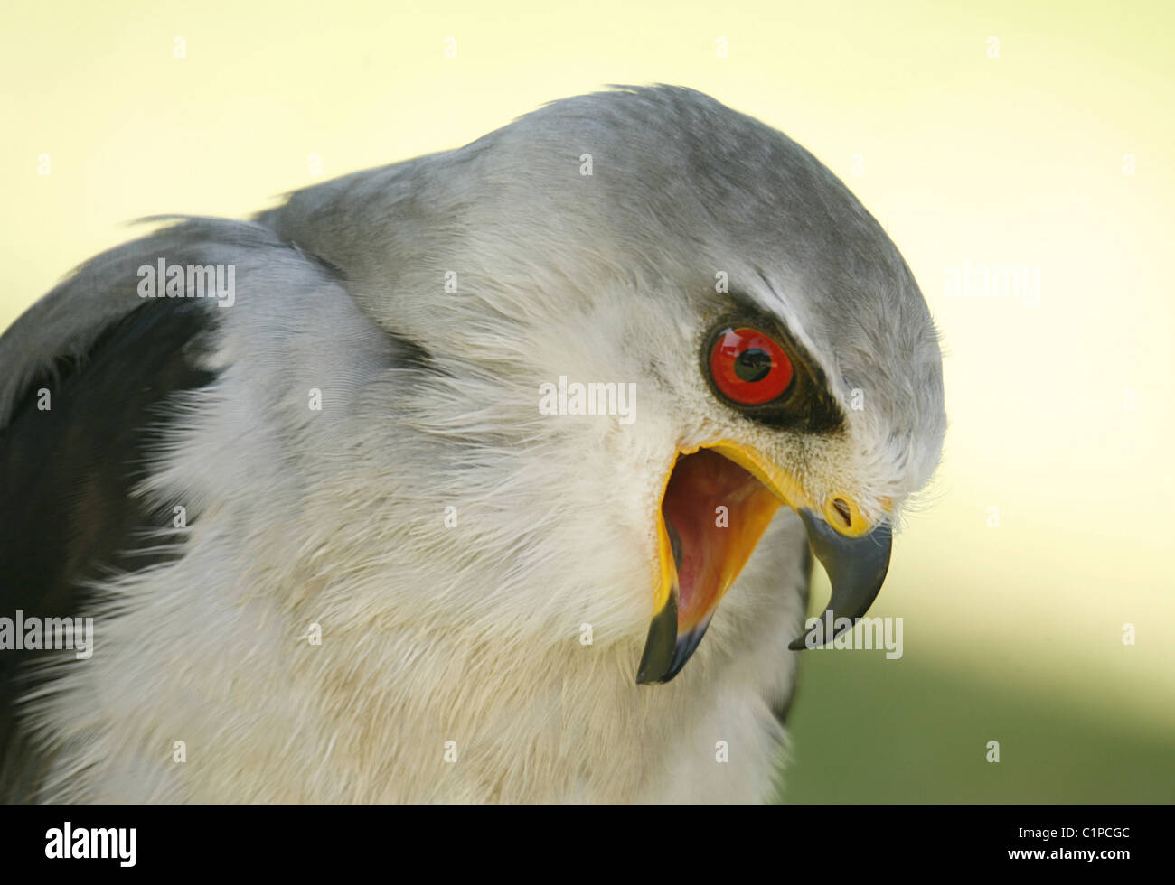 Picture of  a black shouldered kite with mouth open, Spier, Eagle Encounters, South Africa. - Stock Image