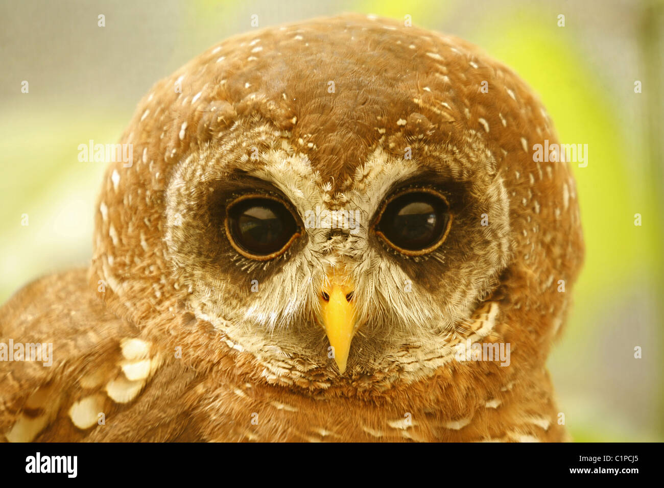 A close-up photograph of  the head of a juvenile wood owl, taken at Eagle Encounters, Spier, South Africa. - Stock Image