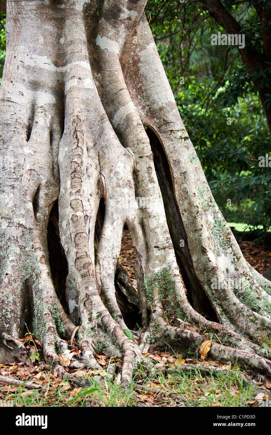 Australia, trunk and exposed roots of ancient fig tree - Stock Image