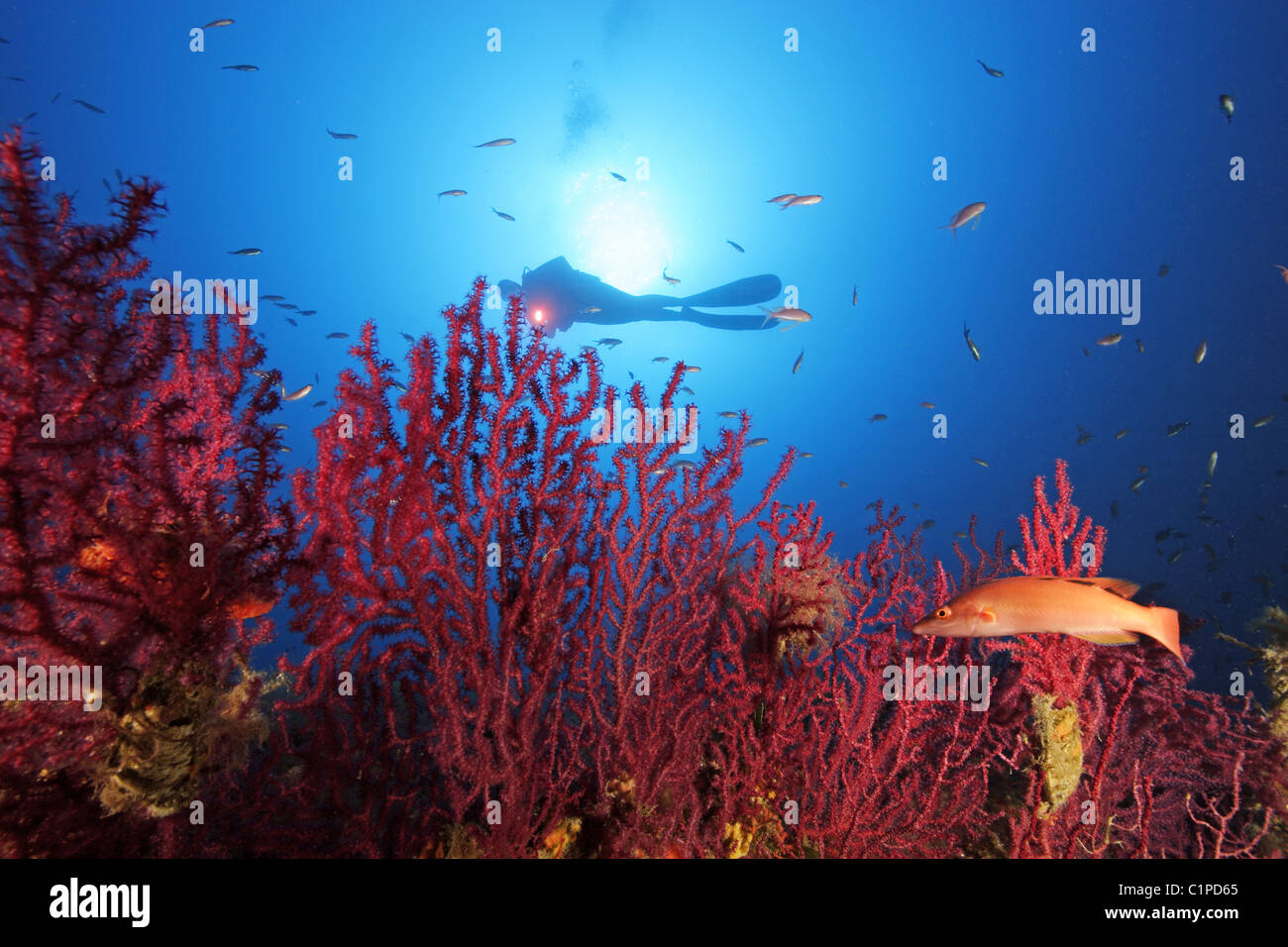 Scuba diver on reef with red gorgonians Stock Photo