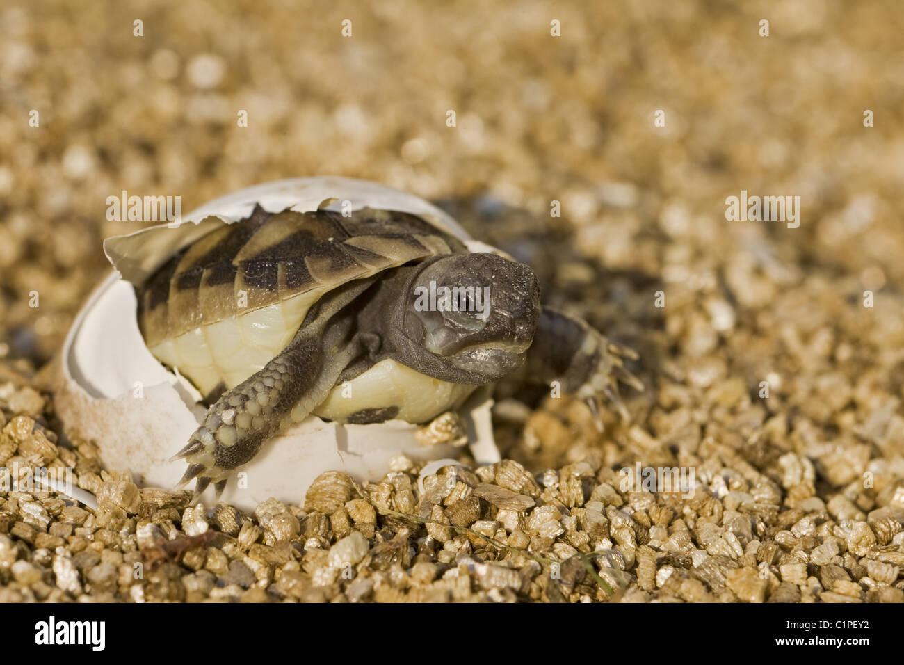 Hatching Tortoise - Stock Image