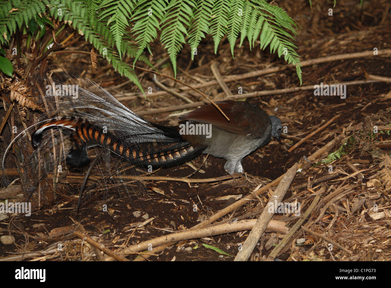 Lyre bird scratching for food in the undergrowth - Stock Image