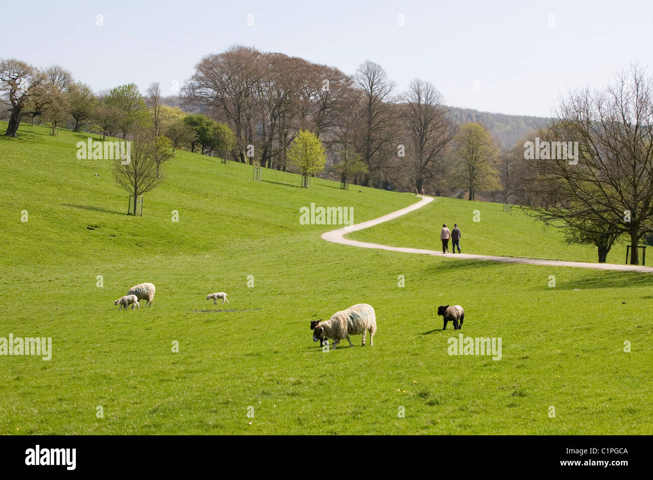 UK, Peak District, Chatsworth, sheep grazing on grass and pedestrians on path in background - Stock Image