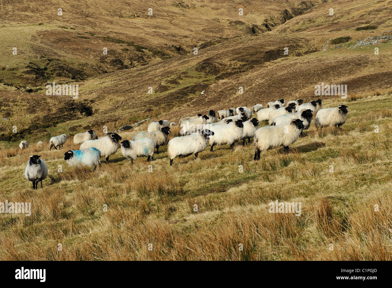 Mountain sheep grazing on a hillside in Achill Island Co.Mayo Ireland - Stock Image