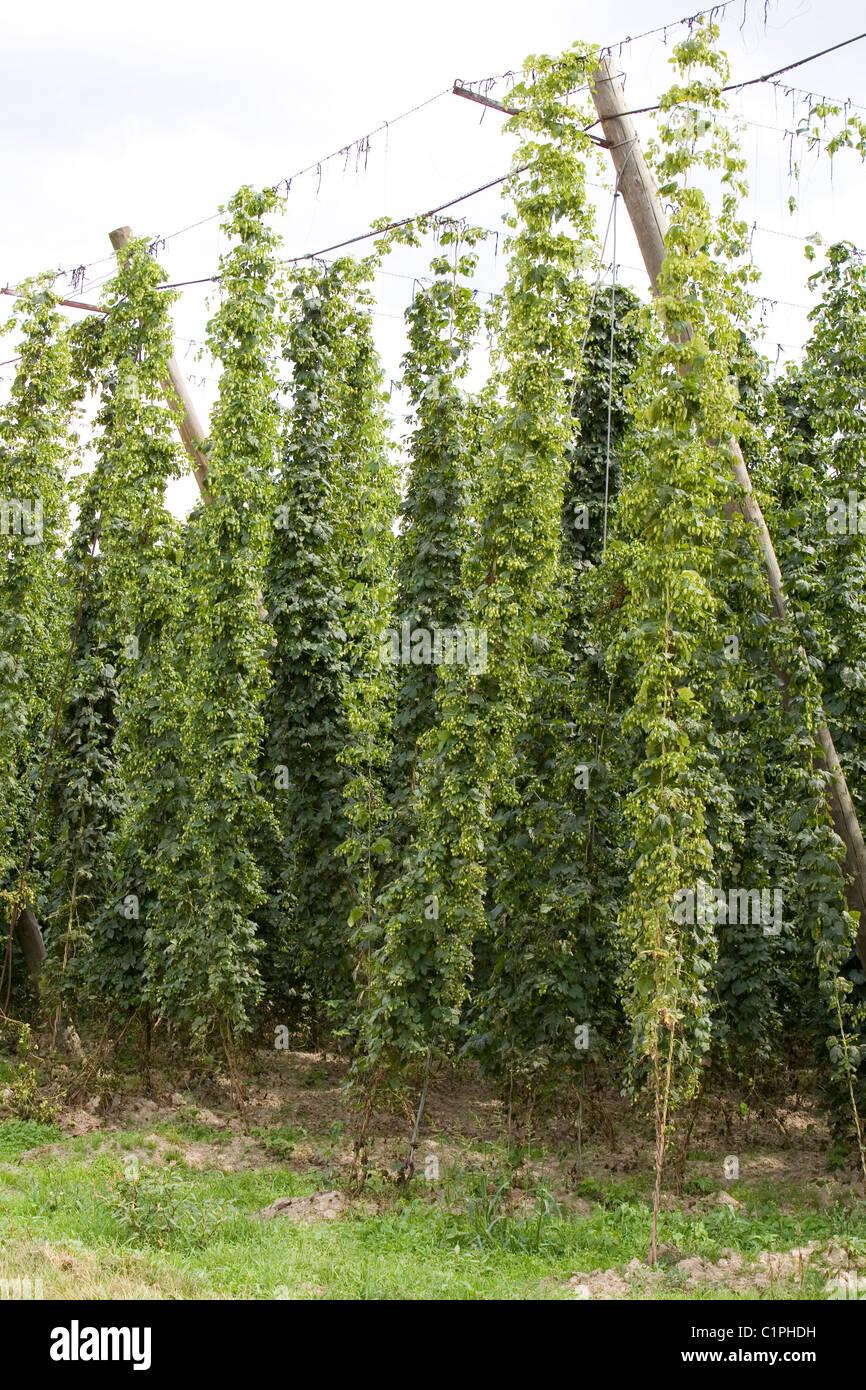 Germany, Bavaria, Kehlheim, hops on trellis - Stock Image