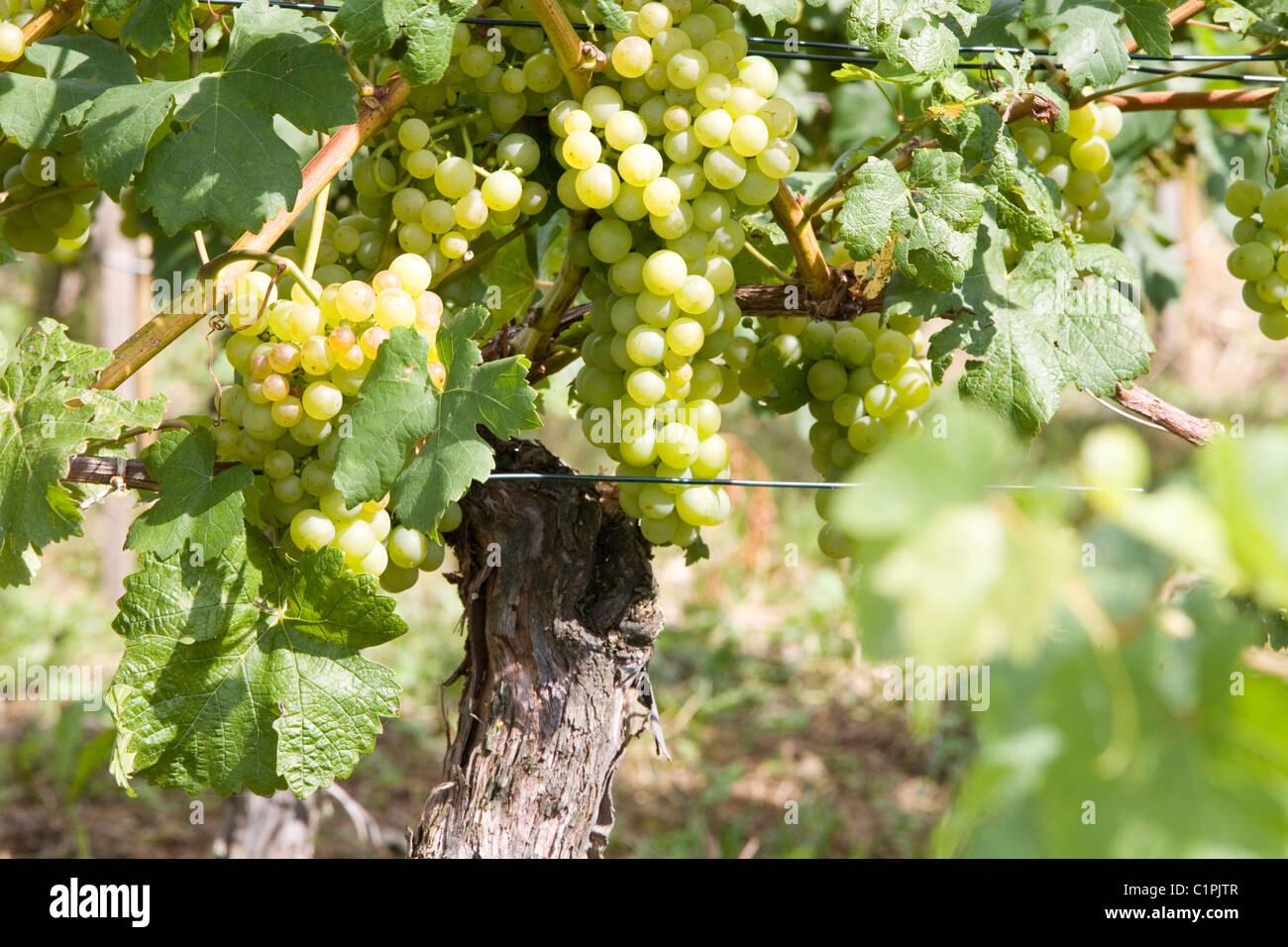 South Germany, Bavaria, Reichenau, grapes on vine - Stock Image