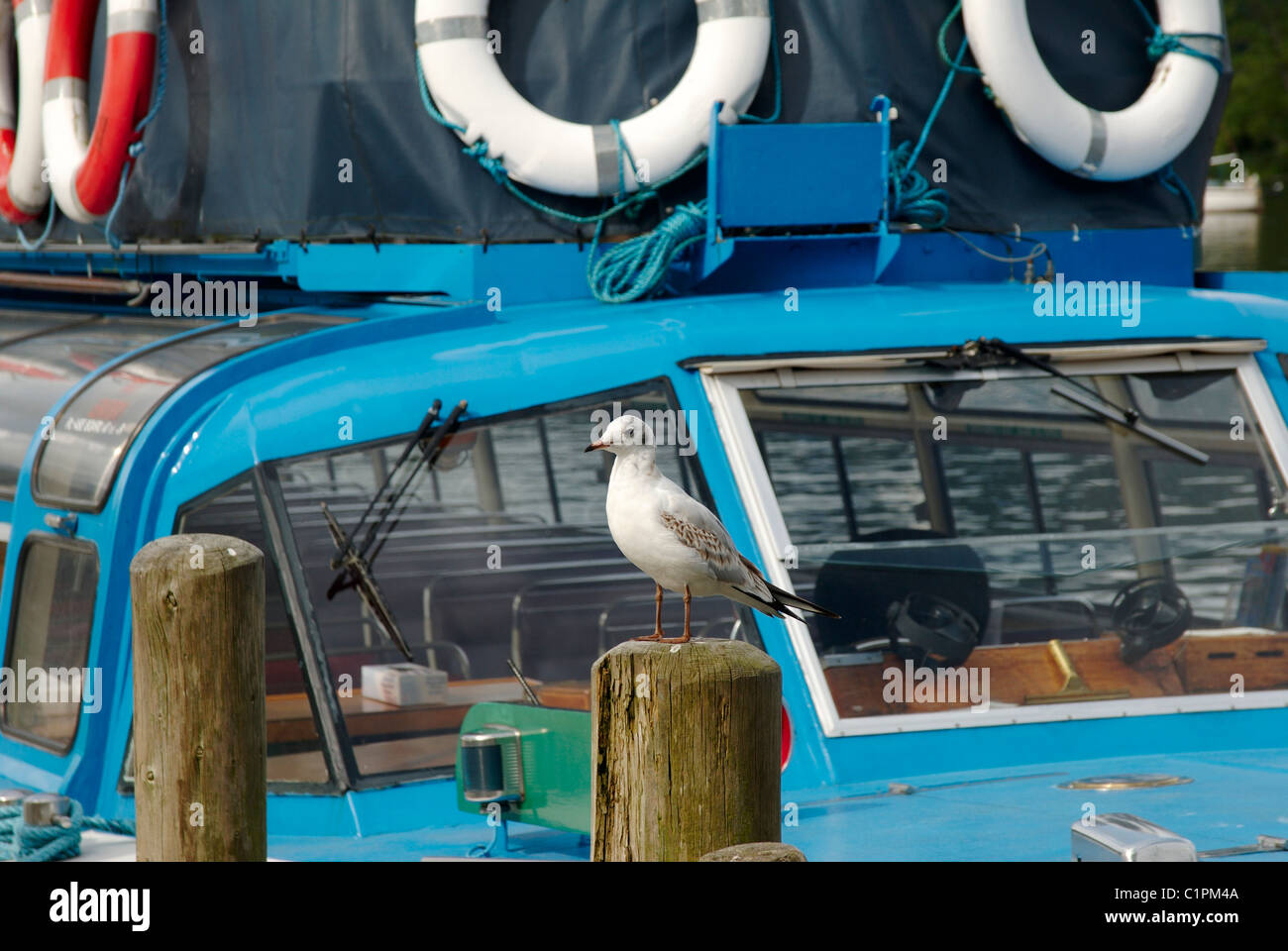 England, Cumbria, Windermere, Seagull sitting on wooden post with boat in background - Stock Image