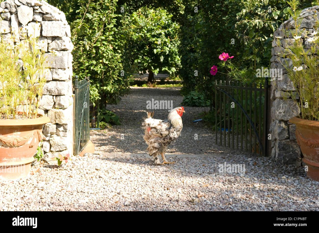 Republic of Ireland, Country Cork, Ballymaloe Cookery School, Cockerel standing at entrance of garden - Stock Image
