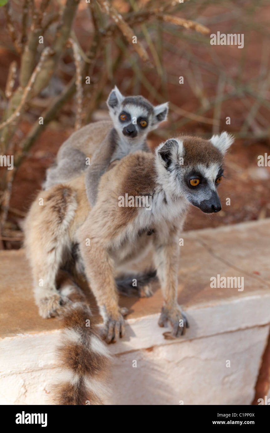 Ring-tailed Lemur (Lemur catta). Female and young. Coat fur in condition,  stressful time whilst rearing.  Berenty, - Stock Image