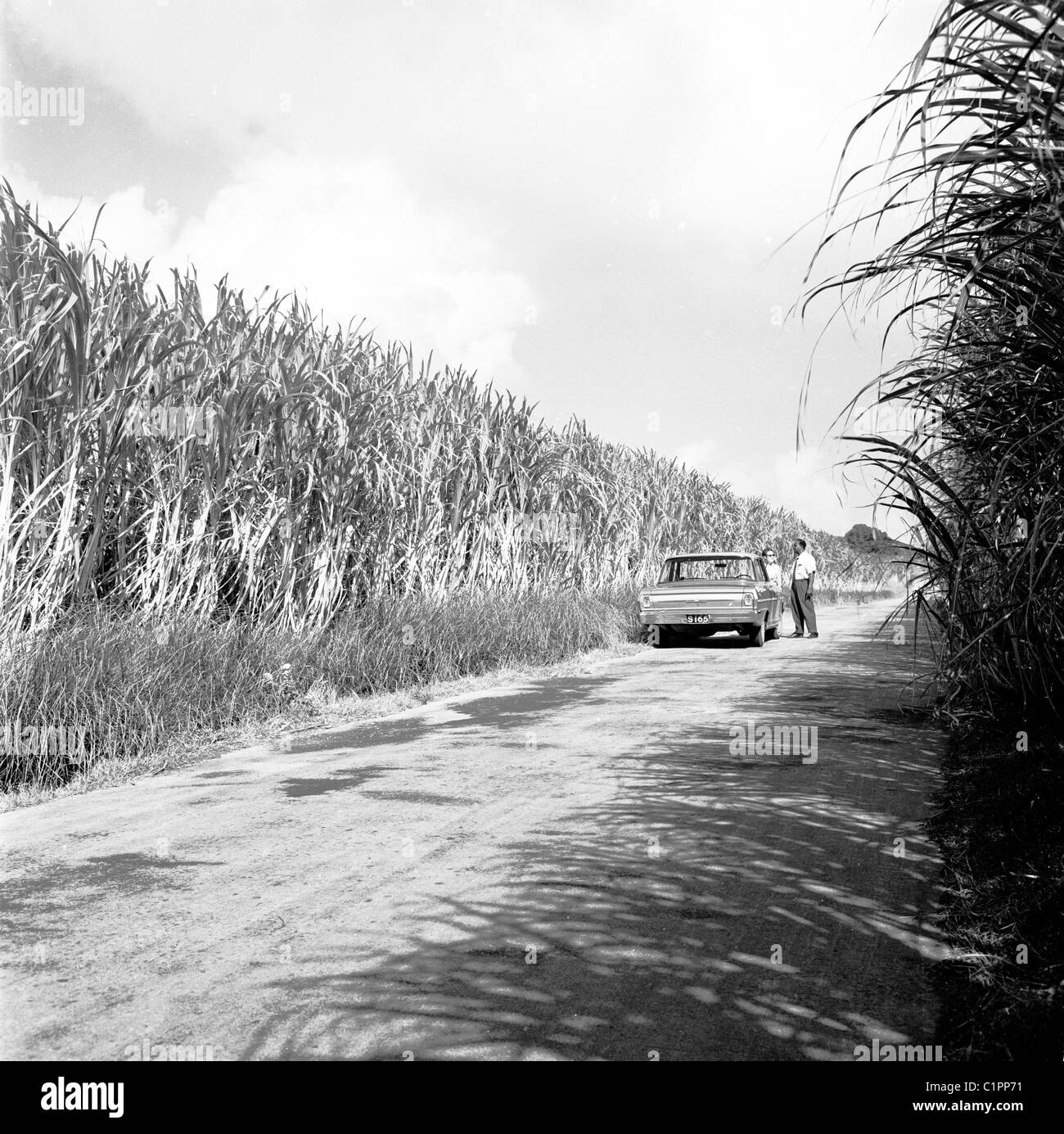 1950s, Barbados. Man and car parked on an empty road beside fields of high growing crops in this historical picture. - Stock Image