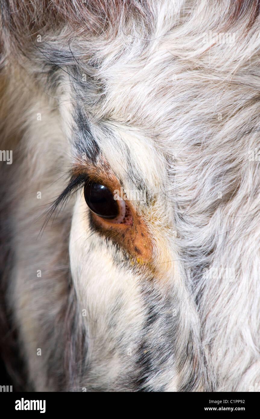 Cow Eyelashes Stock Photos Cow Eyelashes Stock Images Alamy
