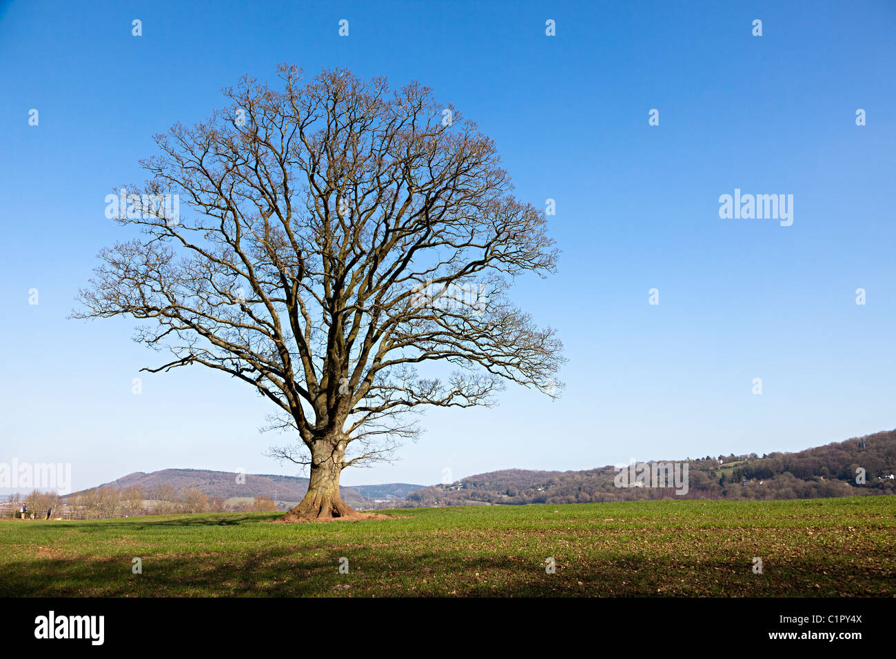 Oak tree in winter with no leaves Herefordshire England UK - Stock Image