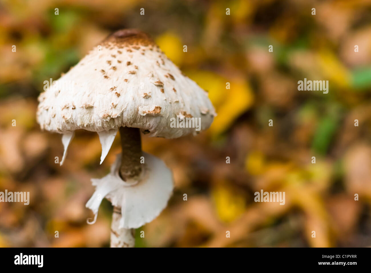 forest mushroom in moss after big longtime rain - Stock Image