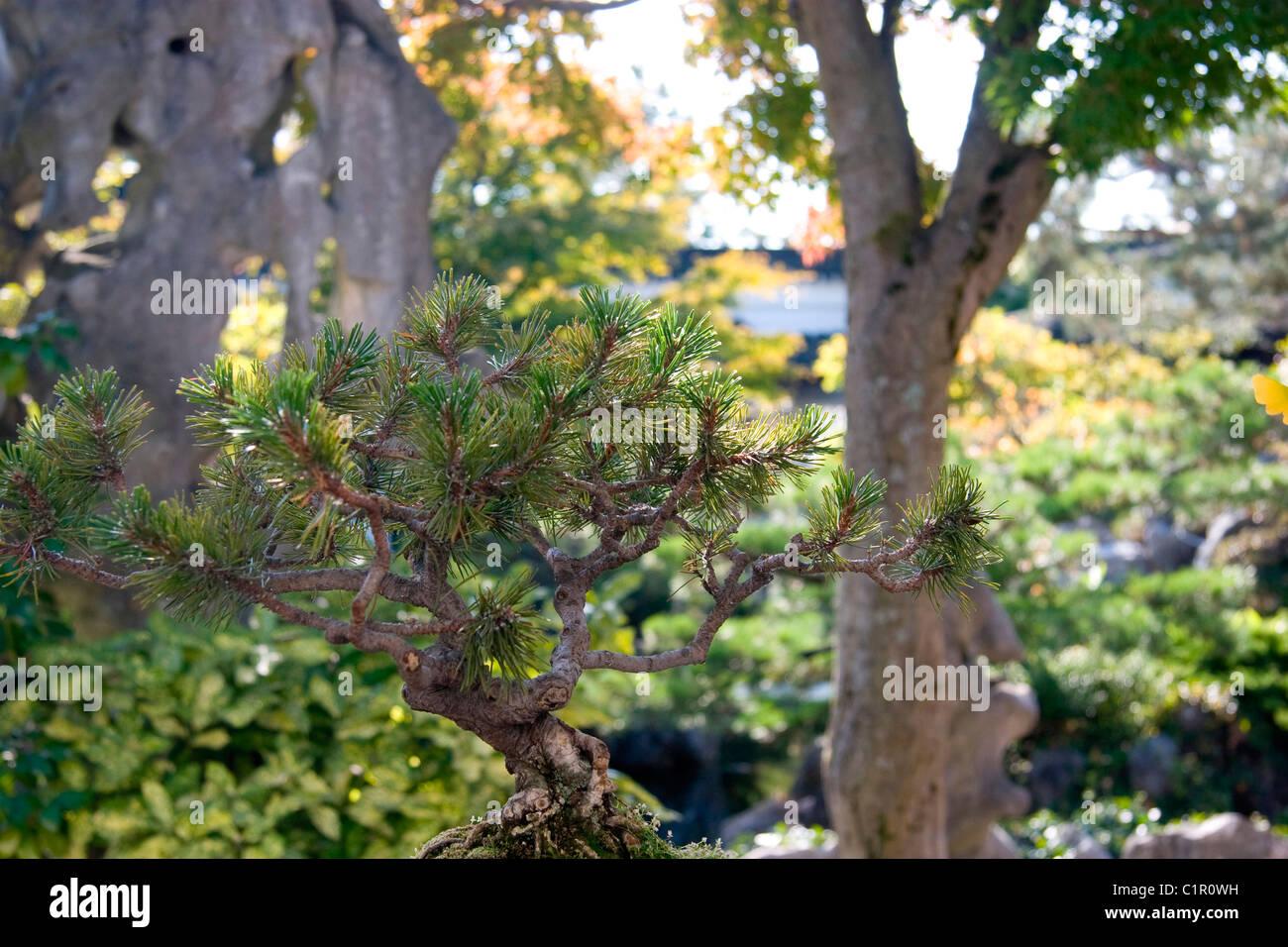 Bonsai Pine Tree At Chinese Garden, Dr. Sun Yat Sen Gardens ...