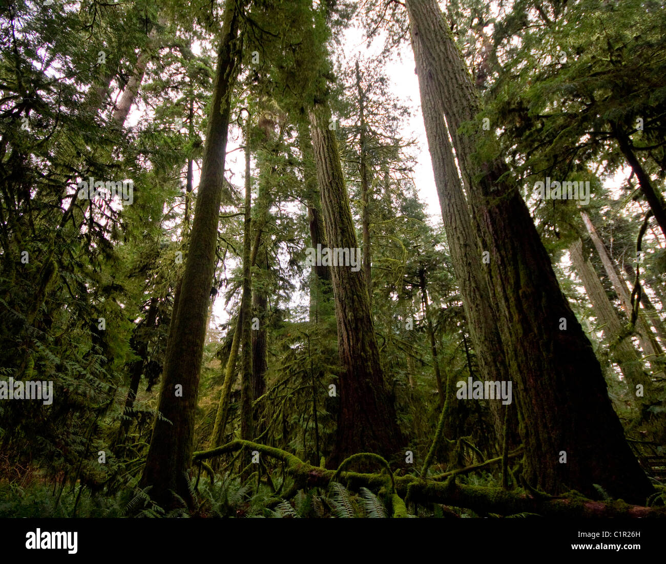 Old growth coniferous trees, mostly Douglas Firs, Cathedral Grove, Vancouver Island, British Columbia - Stock Image