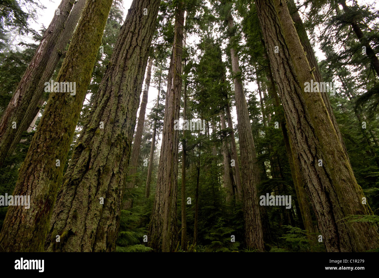 Old growth trees reaching for the sky, Cathedral Grove, Vancouver Island, British Columbia - Stock Image
