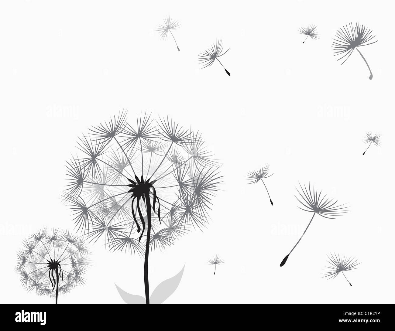 dandelion illustration stock photo 35542634 alamy