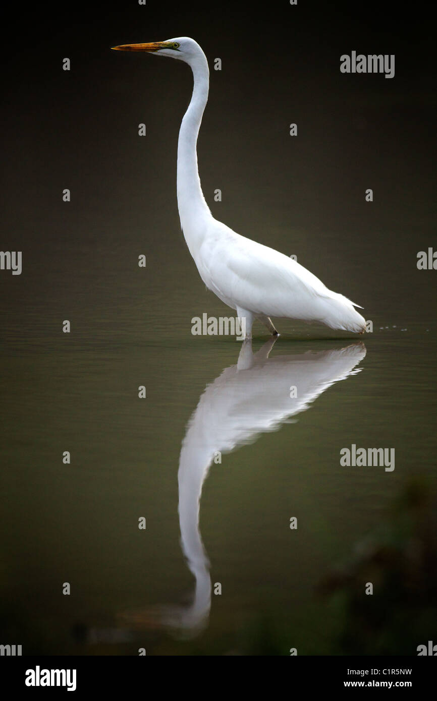 Yellow-billed Egret (Ardea intermedia) Saadani Tanzania - Stock Image
