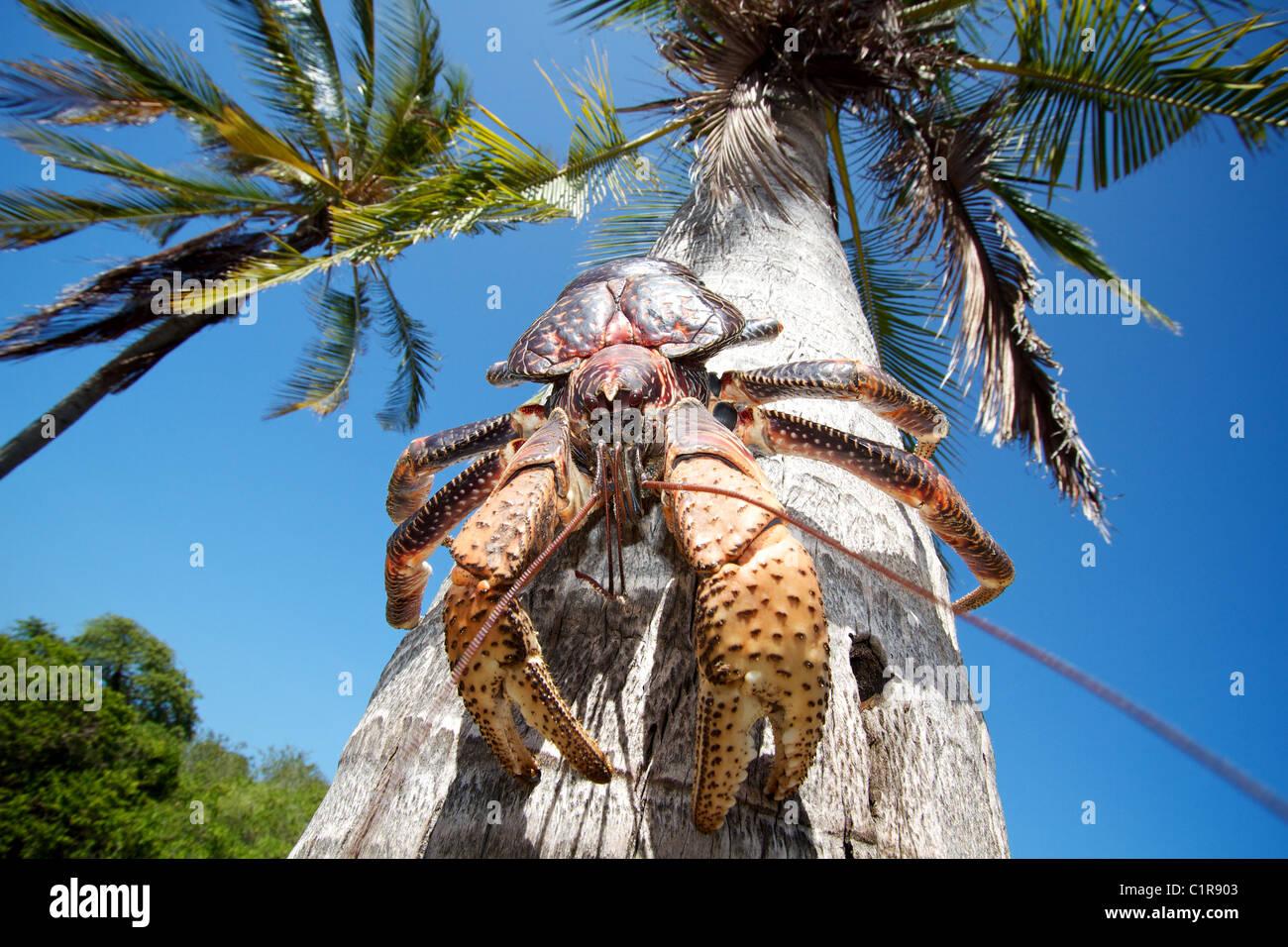 Coconut crab, Birgus latro Mbudya Island Tanzania - Stock Image