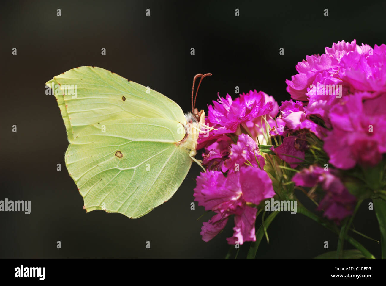 Green Brimstone butterfly on bright pink sweet williams flowers - Stock Image