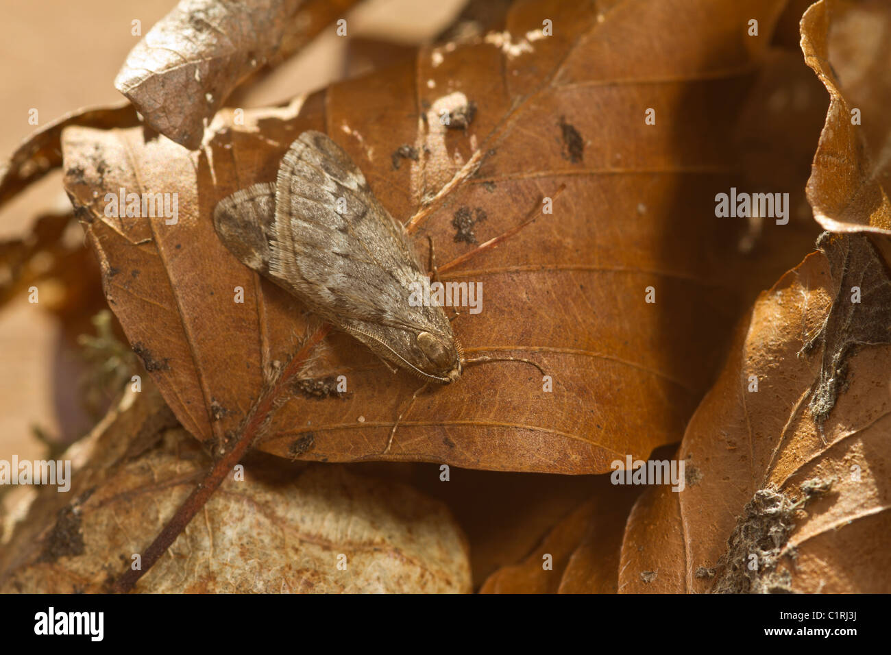March Moth (Alsophila aescularia) resting on fallen winter leaves - Stock Image
