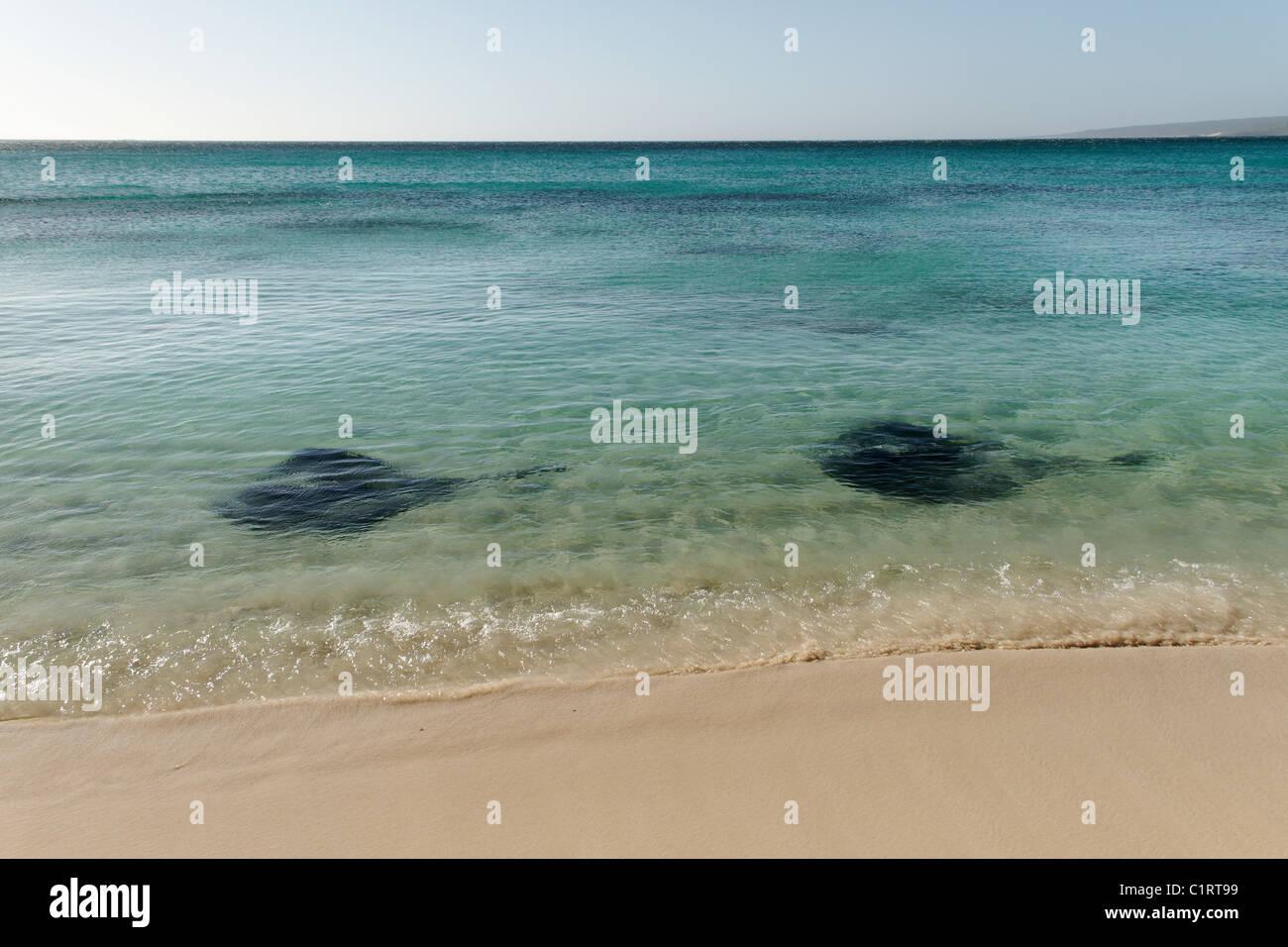 2 Stingrays, Hamelin Bay, Augusta Southwest Australia - Stock Image