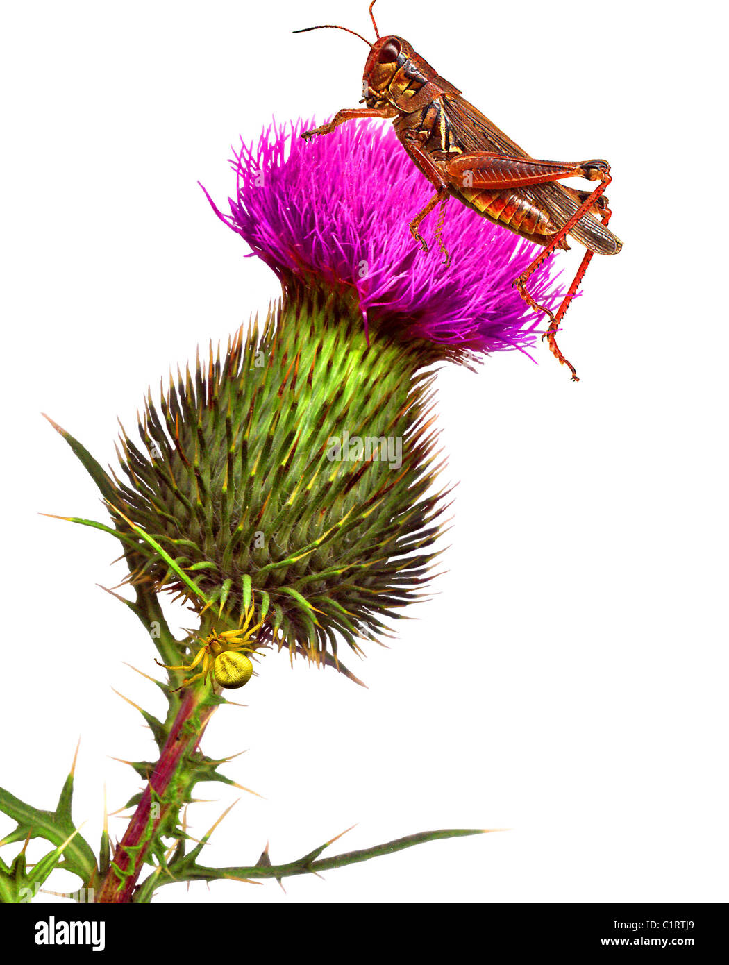 Grasshopper & Spider on Bull Thistle Flower - Illustration created by scanning actual insects & thistle - Stock Image