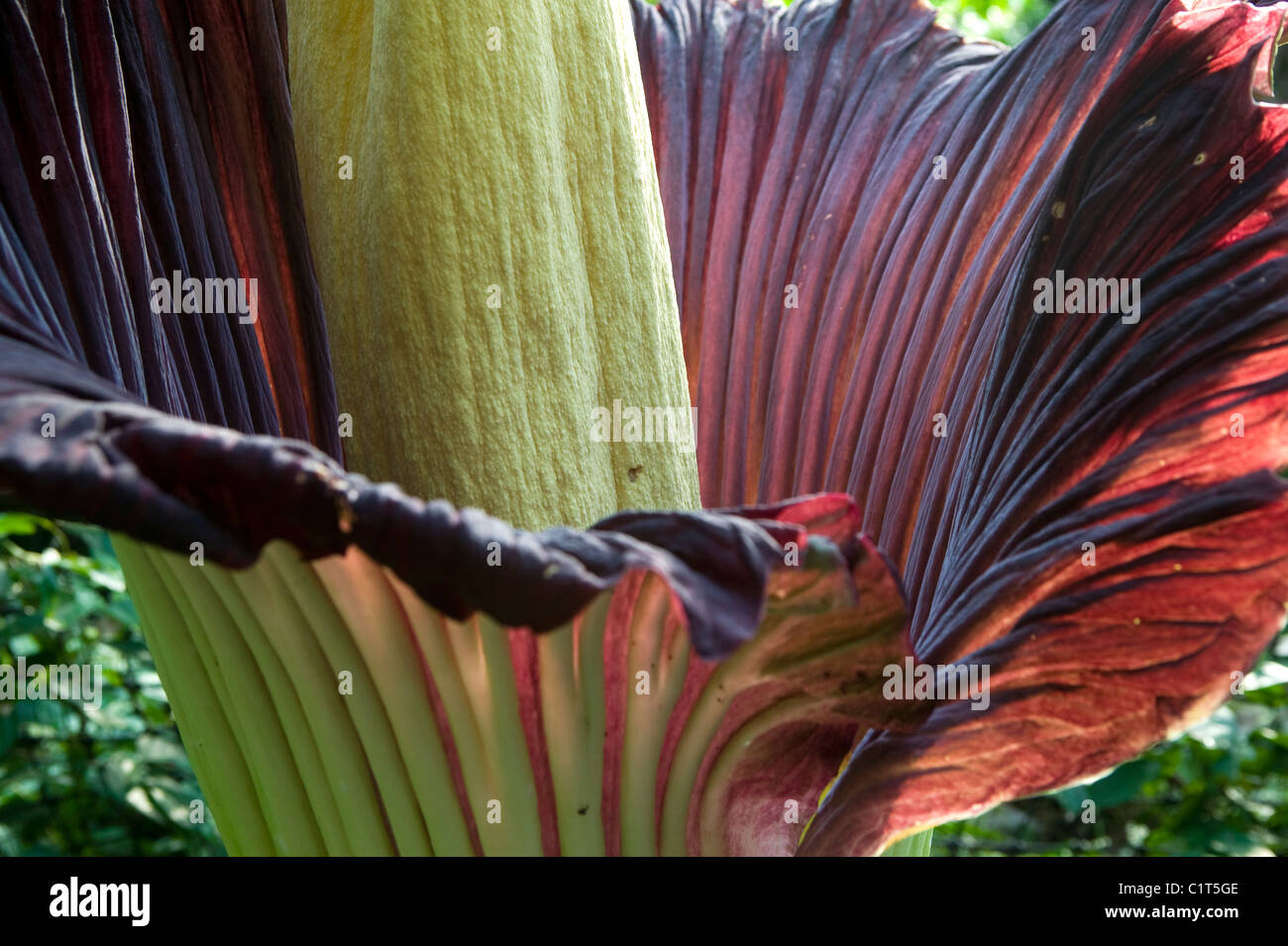 A Titan Arum plant in the Humid Tropics Biome at The Eden Project, Cornwall. - Stock Image