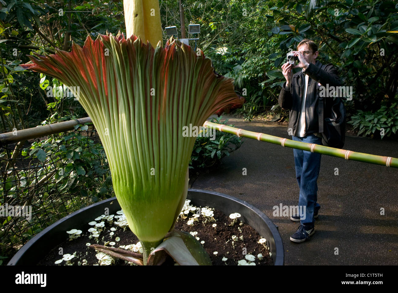 A visitor photographs Titan Arum plant in the Humid Tropics Biome at The Eden Project, Cornwall. - Stock Image