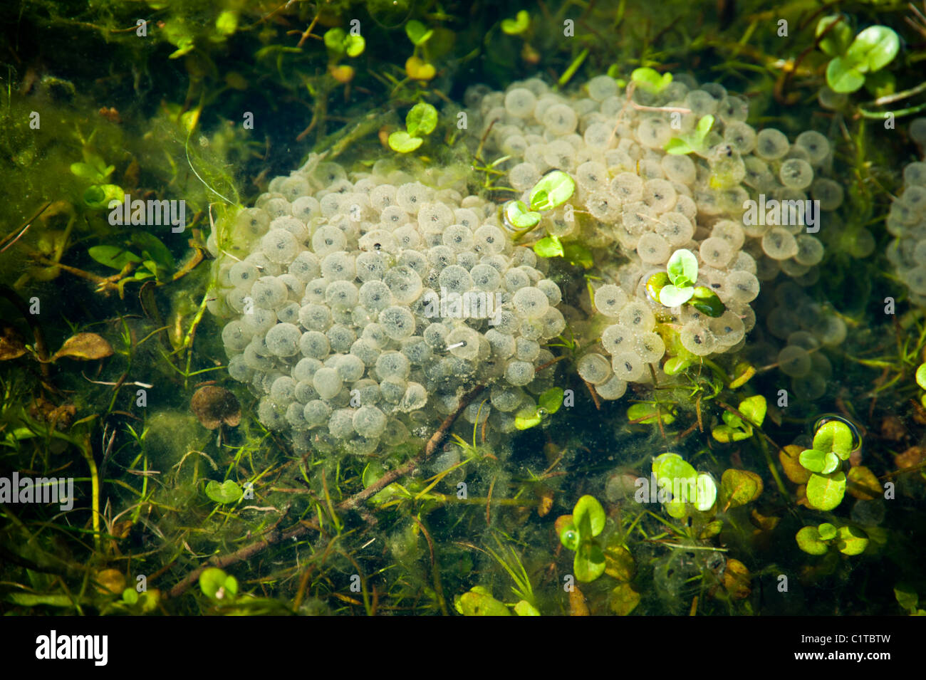 Frogspawn in clumps amid pond weeds in sunlight. - Stock Image