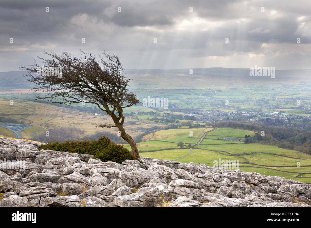 Windswept Tree on Twisleton Scar near Ingleton Yorkshire England - Stock Image