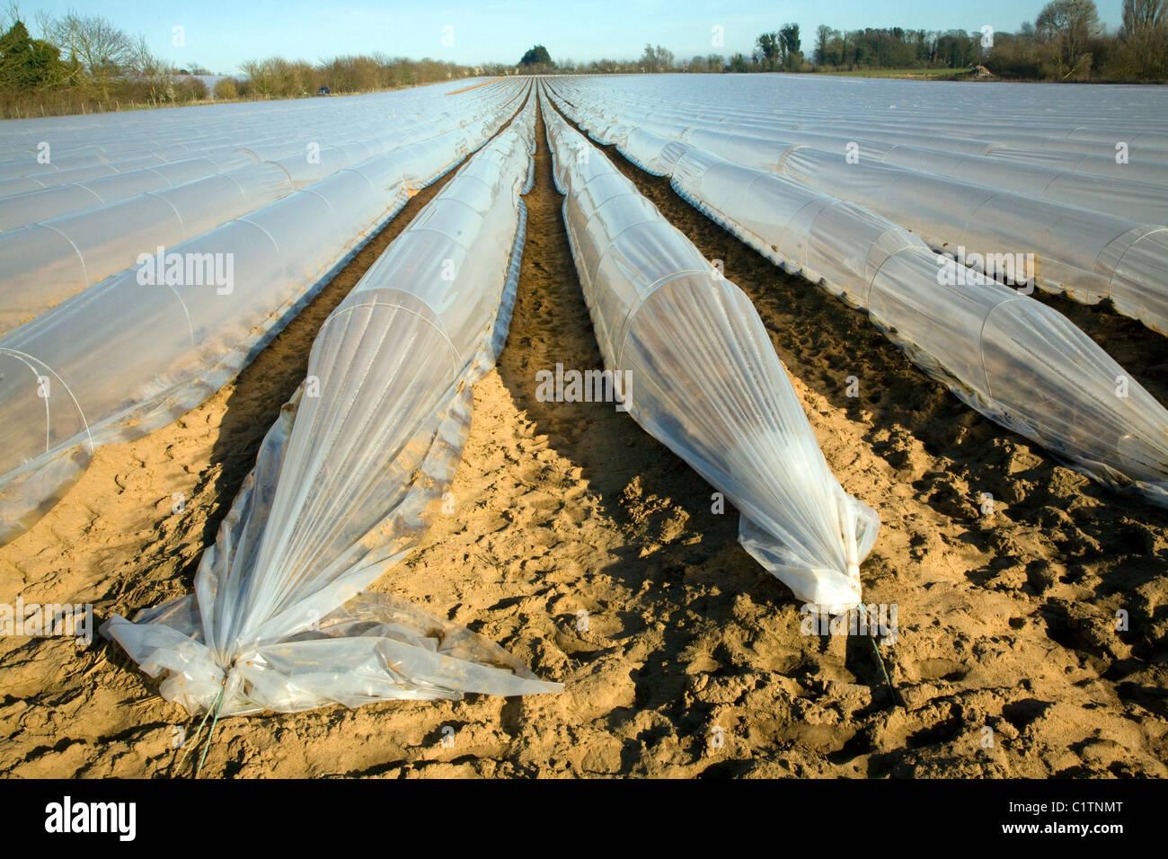Polythene plastic sheeting covering vegetable crop field - Stock Image
