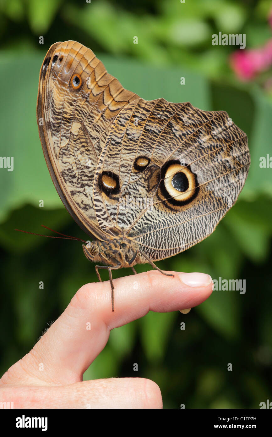 A brown butterfly with beautiful pattern sits on persons finger - Stock Image