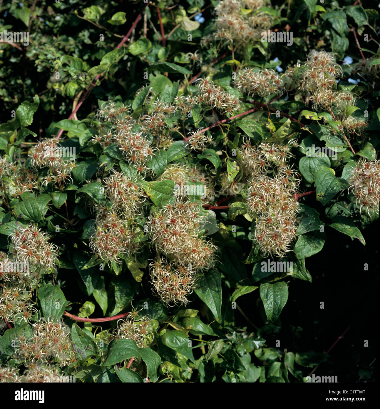 Traveller's joy or old man's beard (Clematis vitalba) seedheads of wild climber - Stock Image