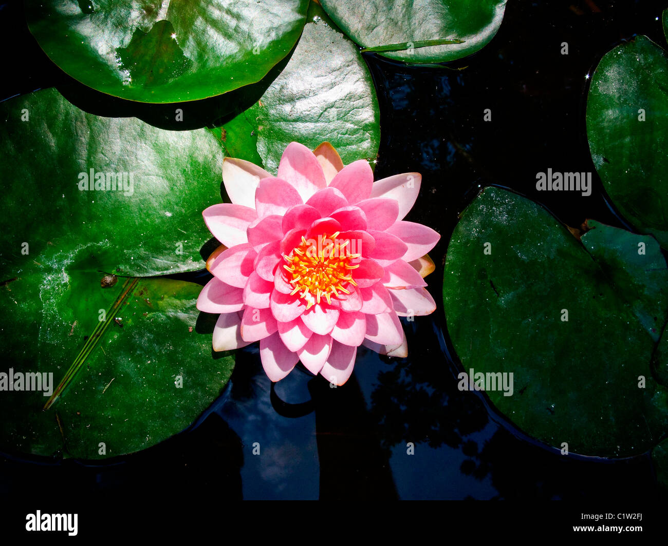High angle view of a lotus flower stock photo 35586198 alamy high angle view of a lotus flower izmirmasajfo