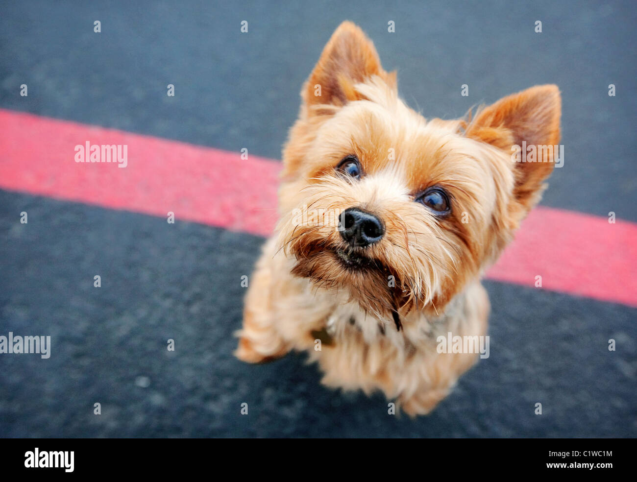 Yorkshire terrier dog on its hind legs looking up at camera. Standing on black asphalt with a red line. - Stock Image