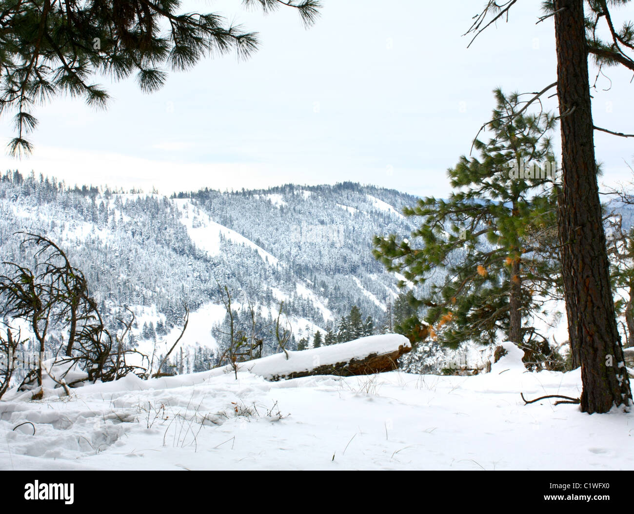 40,600.03176 A fresh winter snow covers dead log and the green ponderosa pine forest that is scattered over a deep - Stock Image