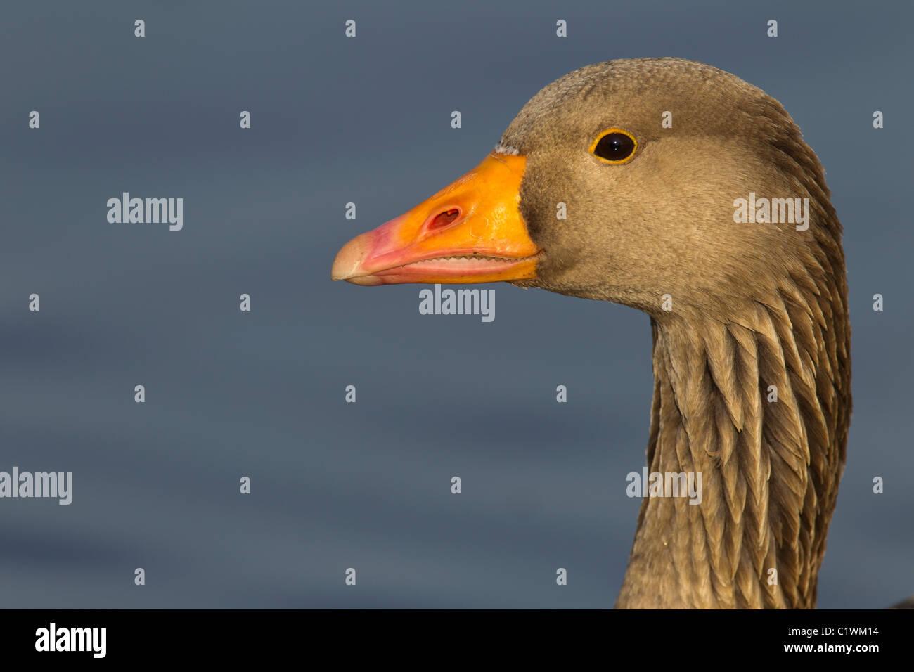 Grey Lag Goose. Ariser anser (Anatidae) Head Close-up Stock Photo