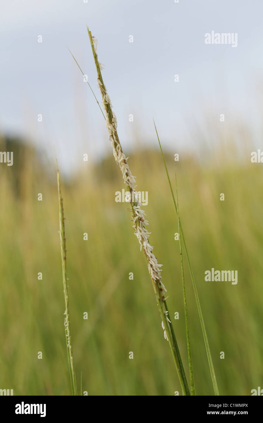 A flowering spike of smooth cordgrass, Spartina alterniflora. - Stock Image