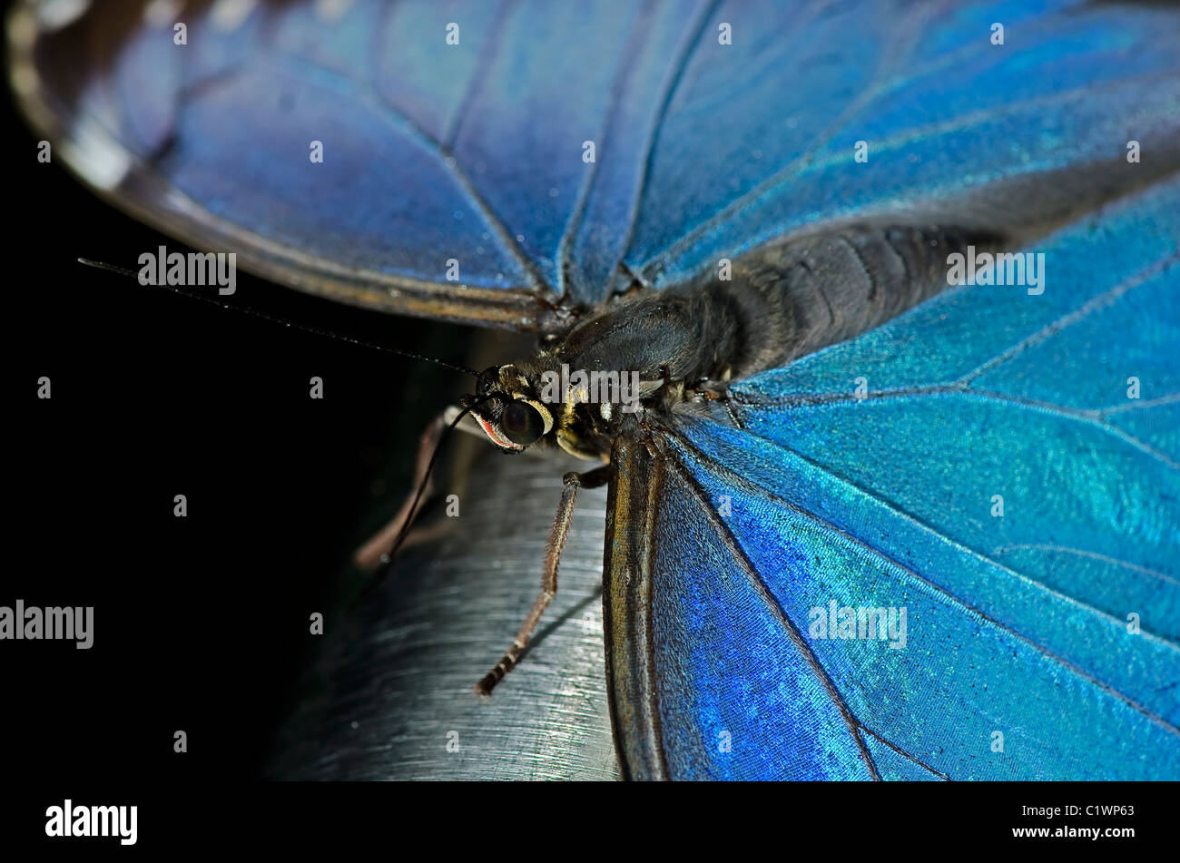 A Common Blue Morpho Butterfly, also known as an Owl Butterfly, of the Nymphalidae family. - Stock Image